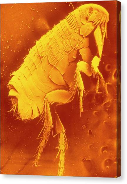 Fleas Canvas Print - Sem Of The Dog Flea by Marilyn Schaller/science Photo Library