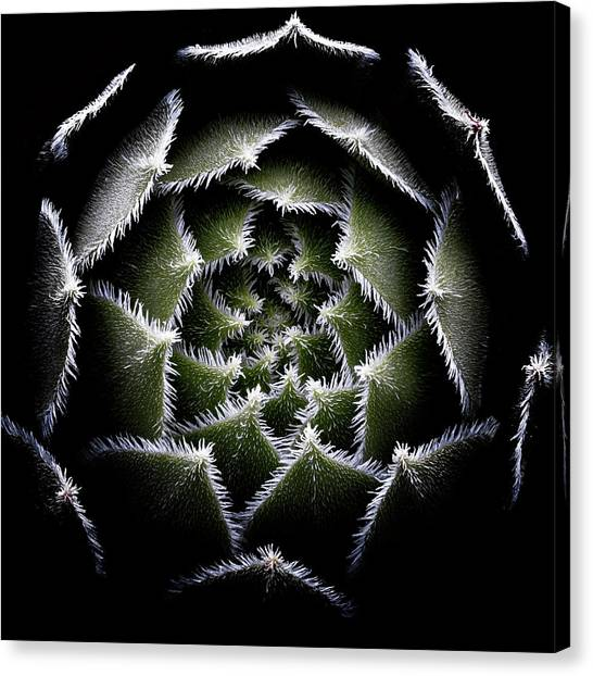 Sempervivum Rosette Canvas Print by Victor Mozqueda