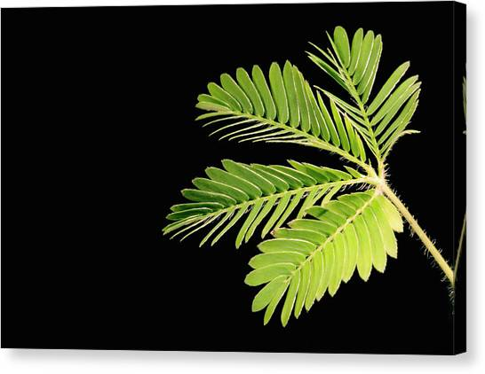 Mimosa Canvas Print - Sensitive Plant With Leaves Open by Science Stock Photography/science Photo Library