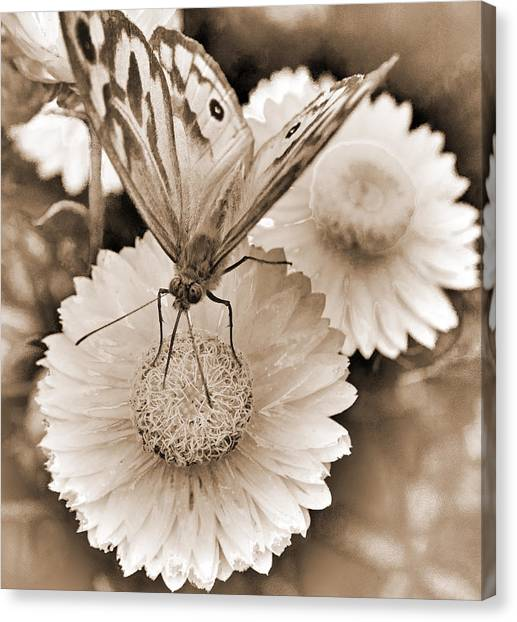 Sepia Monarch Butterfly On Paper Daisy Canvas Print by Patrick OConnell