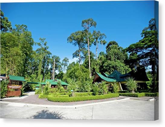 Orangutans Canvas Print - Sepilok Rehabilitation Centre by Tony Camacho/science Photo Library