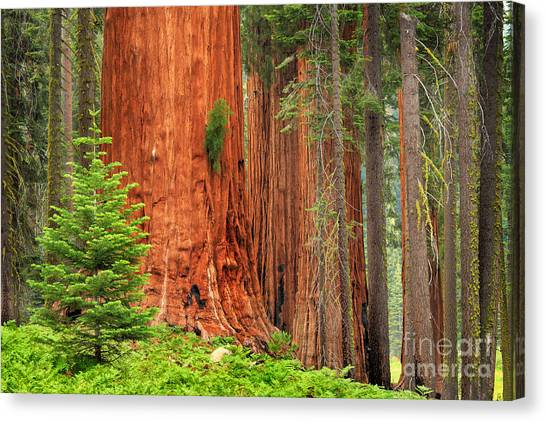 Sequoias Canvas Print