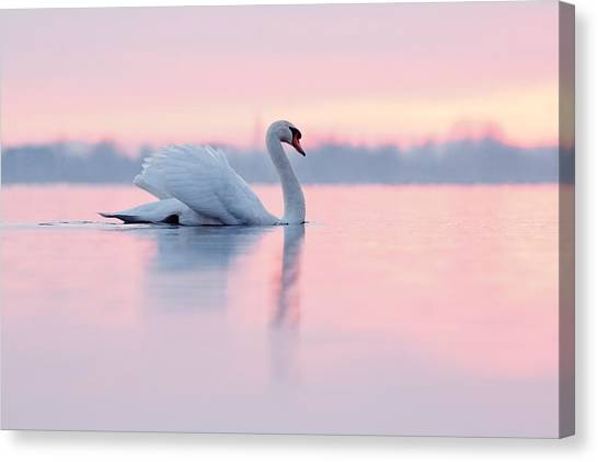 Sundown Canvas Print - Serenity   Mute Swan At Sunset by Roeselien Raimond