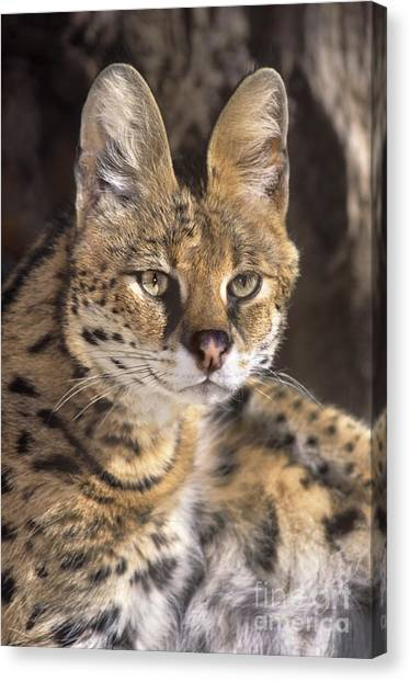 Canvas Print featuring the photograph Serval Portrait Wildlife Rescue by Dave Welling