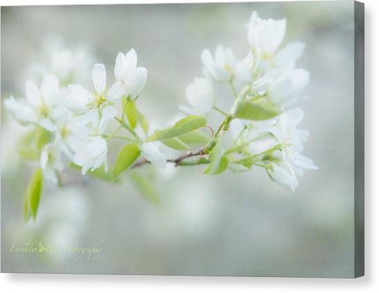 Serviceberry Blossoms Canvas Print by Beverly Cazzell
