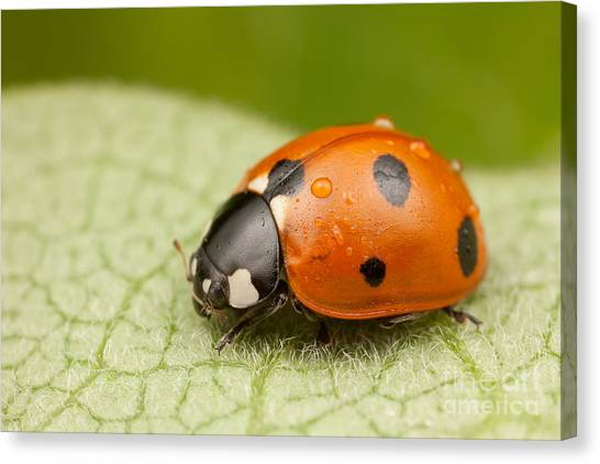 Spring Canvas Print - Seven-spotted Lady Beetle II by Clarence Holmes