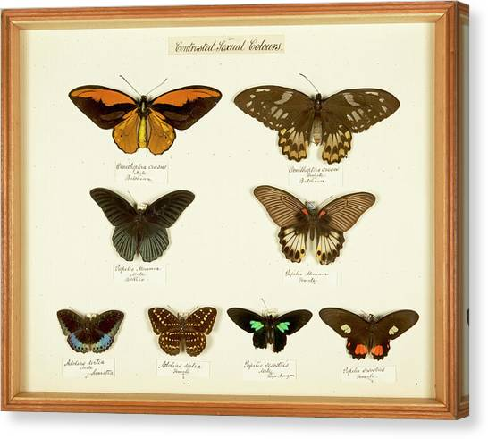 Drawers Canvas Print - Sexual Dimorphism In Butterflies by Natural History Museum, London
