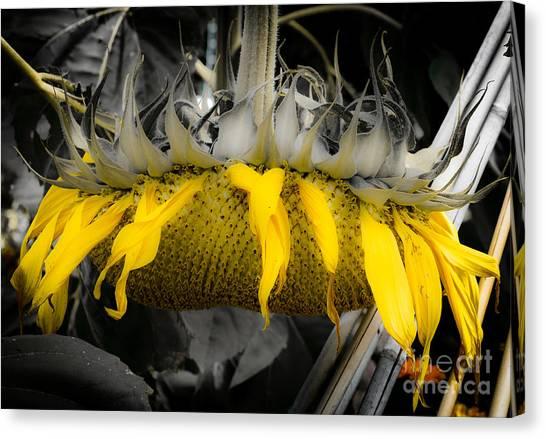 Shaded Sunflower Canvas Print