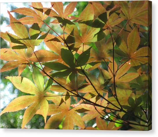 Shadows Of Maple  Canvas Print