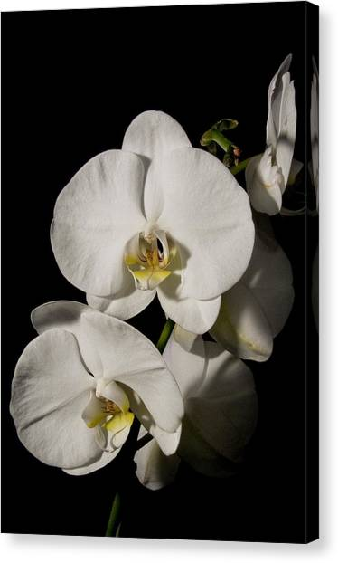 Shadowy Orchids Canvas Print