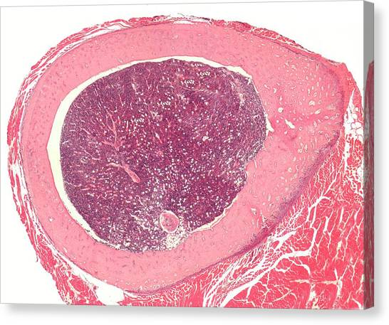 Histology Canvas Print - Shaft Of A Long Bone by Steve Gschmeissner