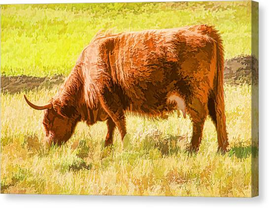 Shaggy Scottish Highlander Canvas Print