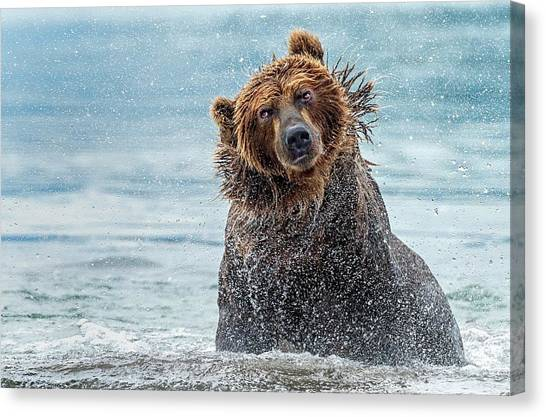 Brown Bears Canvas Print - Shaking - Kamchatka, Russia by Giuseppe D\\\'amico