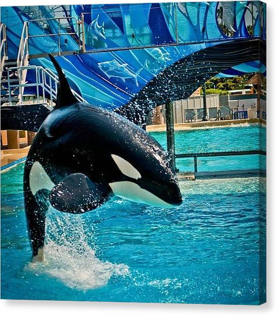 Orcas Canvas Print - Shamu #seaworld #nikonphotography by Phil Day