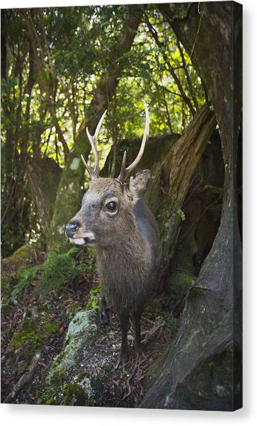 Schafer Canvas Print - Shansi Sika Buck Kirishima-yaku Np by Kevin Schafer