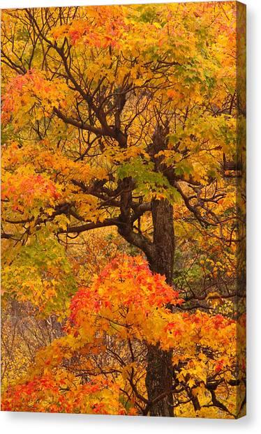 Shapely Maple Tree Canvas Print