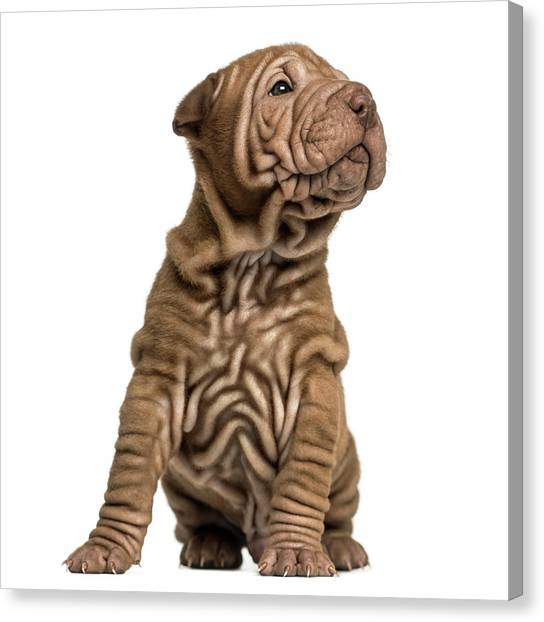 Shar Pei Puppy Sititng, Looking Up Canvas Print by Life On White