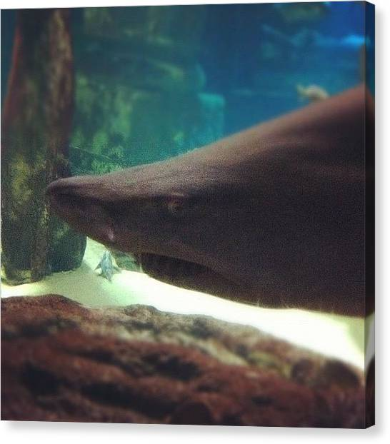 Jaws Canvas Print - #shark #jaws #instagram #iphoneography by Krystal Schuler