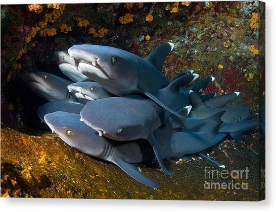 White Tip Sharks Canvas Print - Shark Pile by Aaron Whittemore