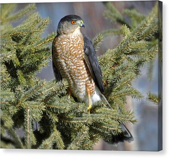 Sharp Shinned Hawk Canvas Print
