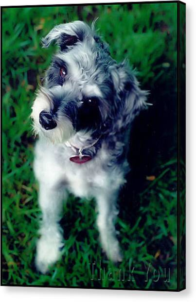 Schnauzers Canvas Print - Shay Marie And A Reminder To Utter The Words Thank You. by Raenell Ochampaugh