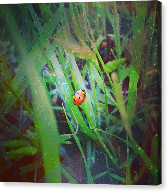 Ladybugs Canvas Print - She Posed For Me :) #express by Hannah Kay