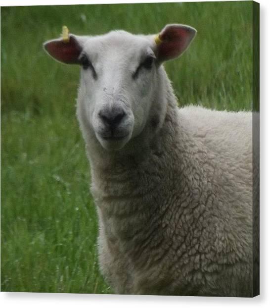 Scotty Canvas Print - #sheep #baa #tagforlikes #follow4follow by Scotty Sm