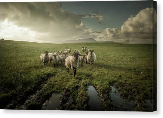 Farming Canvas Print - Sheep by David Ahern