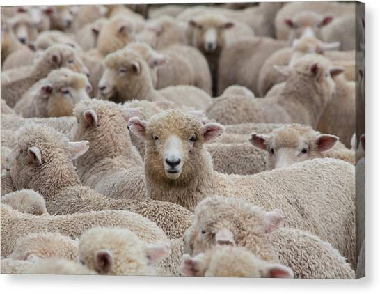 Sheep Herd In New Zealand 2 Canvas Print by Clickhere