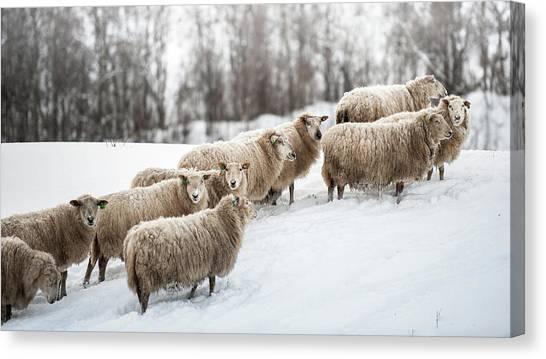 Sheep Herd Waking On Snow Field Canvas Print