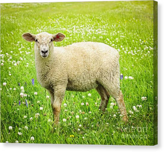Grass Canvas Print - Sheep In Summer Meadow by Elena Elisseeva