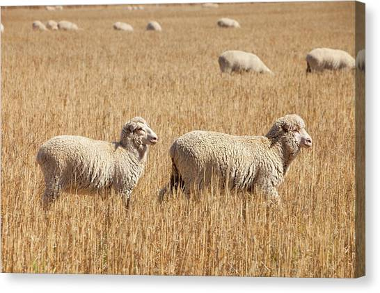 Climate Change Canvas Print - Sheep On A Farm by Ashley Cooper