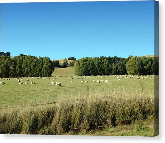 Sheep On Roadside Canvas Print by Ron Torborg