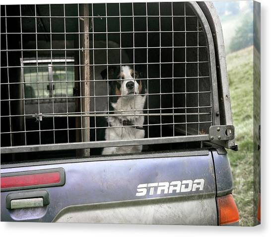 Border Collies Canvas Print - Sheepdog In A Truck by Robert Brook/science Photo Library
