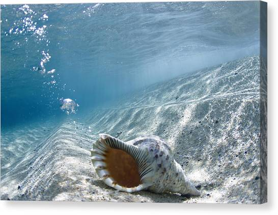 Conch Canvas Print - Shell Burp by Sean Davey