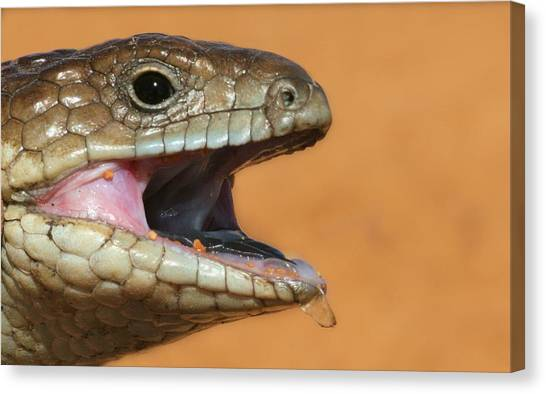 Canvas Print featuring the photograph Shingle Back Lizard by David Rich