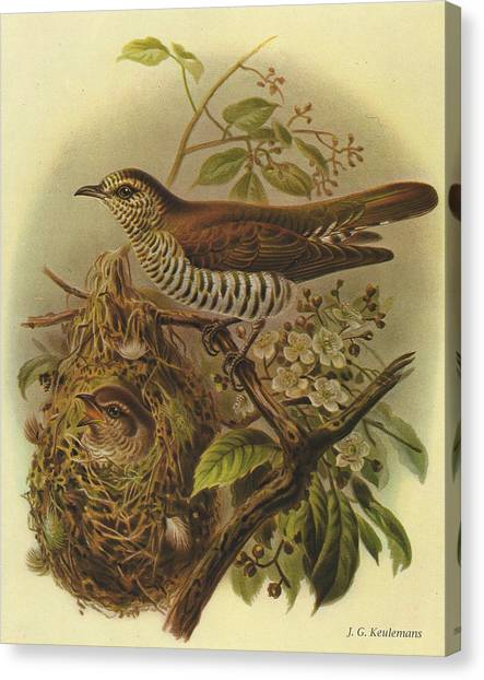 Cuckoos Canvas Print - Shining Cuckoo by Dreyer Wildlife Print Collections