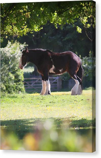 Shire Horse  Canvas Print by Stephen Norris