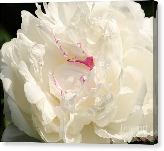 Shirley Temple Canvas Print - Shirley Temple Peony by Olivia Hardwicke