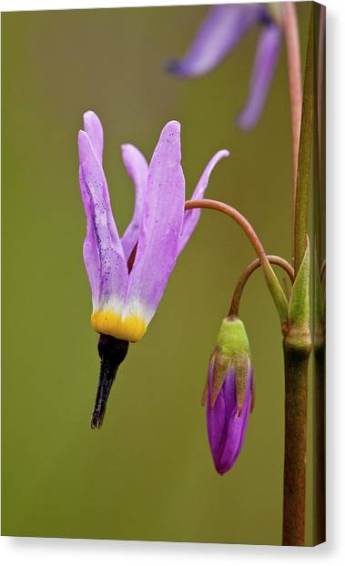 Shooting Stars Canvas Print - Shooting Star (dodecatheon Alpinum) by Bob Gibbons/science Photo Library