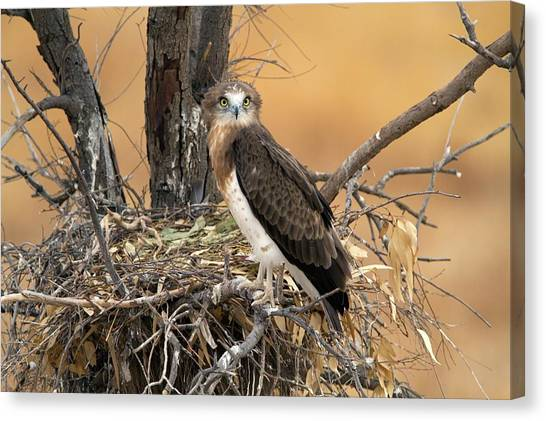 Accipitridae Canvas Print - Short-toed Snake Eagle Circaetus Gallicus by Photostock-israel