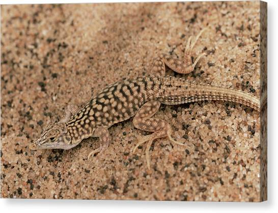 Shovels Canvas Print - Shovel-snouted Lizard by Sinclair Stammers/science Photo Library