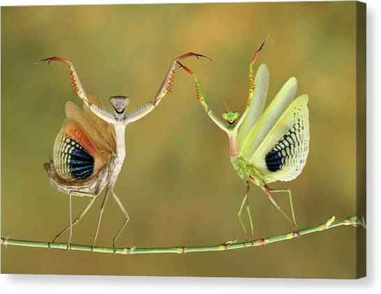 Bug Canvas Print - Show Time by Hasan Baglar