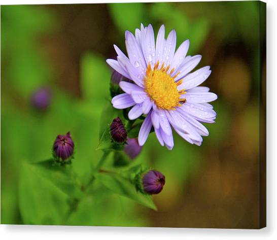 Showy Aster Canvas Print