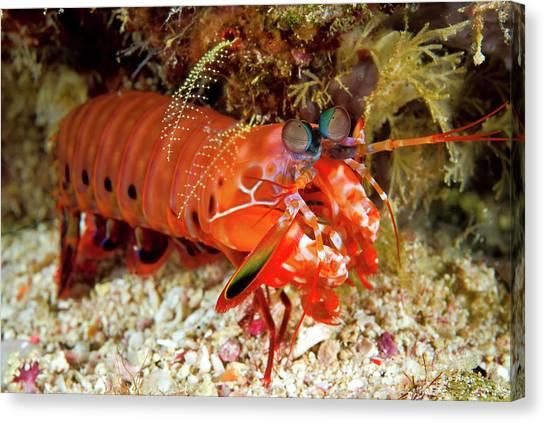 Anemonefish Canvas Print - Shrimp On Ocean Floor, Raja Ampat by Jaynes Gallery
