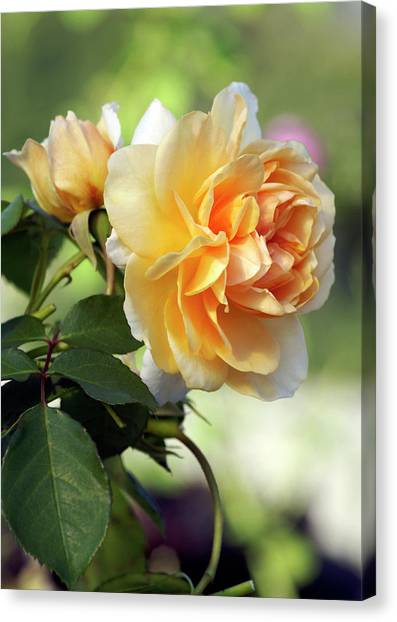 Pegasus Canvas Print - Shrub Rose (rosa 'pegasus') by Brian Gadsby/science Photo Library