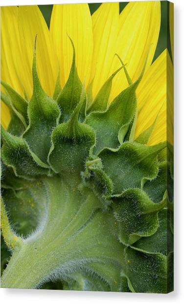 Shy Sunflower Canvas Print