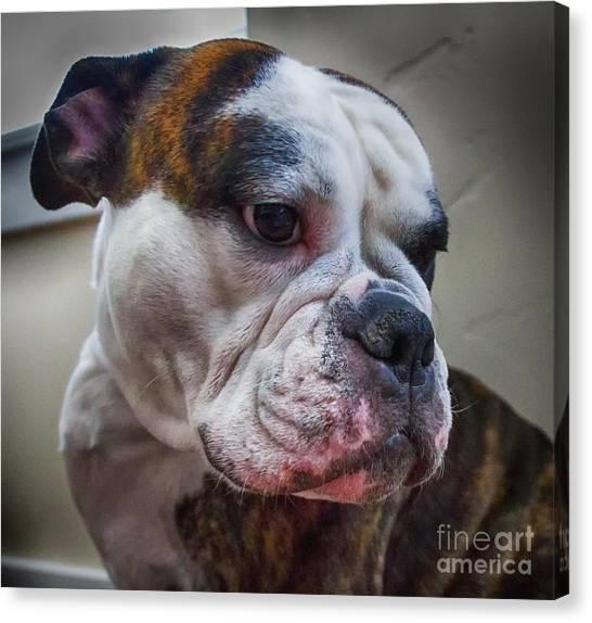 English Bull Dogs Canvas Print - Shy Trixie by Mitch Johanson