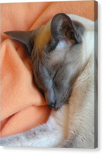 Siamese Snooze 3 Canvas Print