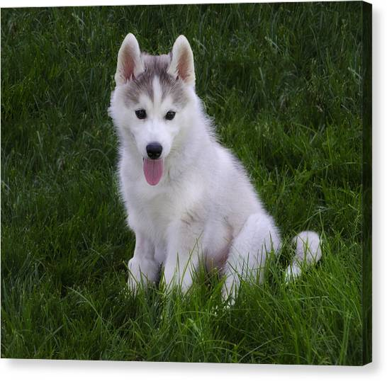 Huskie Canvas Print - Siberian Huskie Pup by Bill Cannon